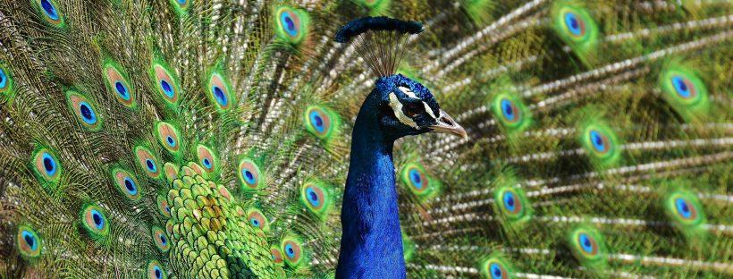 peacock-1331278_1920